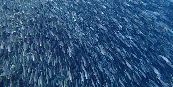 西表島の魚群