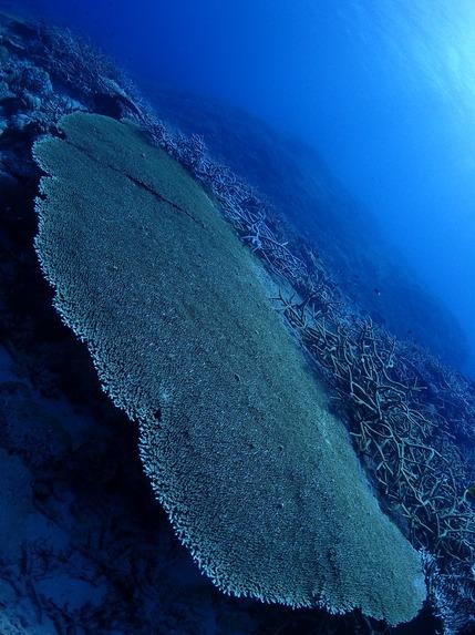 ワンダフルサンゴ