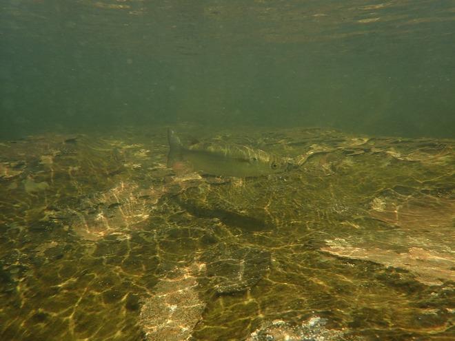 浦内川に生息する絶滅危惧種のボラ
