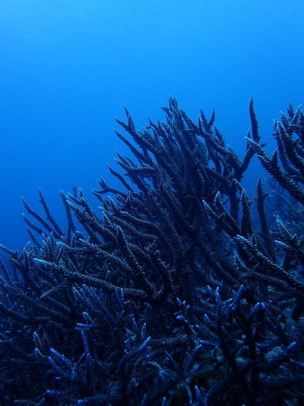 上にのびーるサンゴ