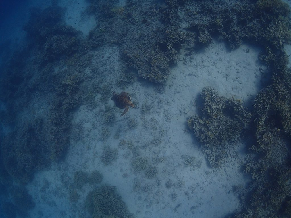 西表 体験ダイビング カメ
