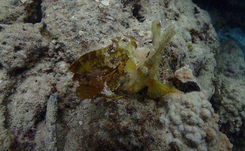 西表の魚 ハダカハオコゼ
