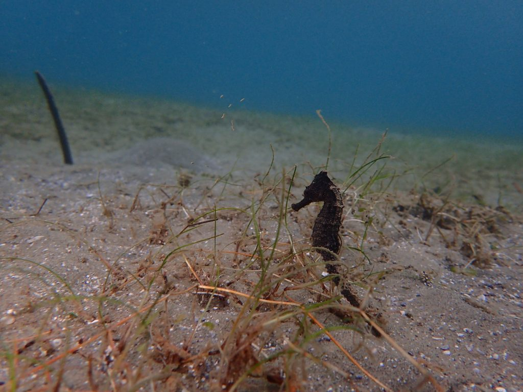 西表島 マクロな生き物オオウミウマ