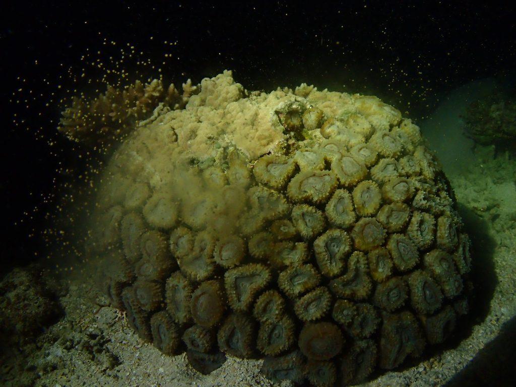 西表サンゴ産卵