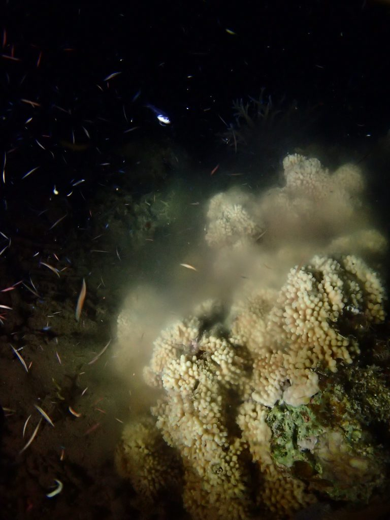 西表サンゴ放精
