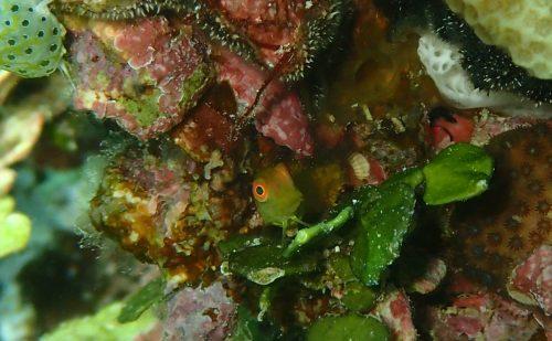 西表の魚 インドカエルウオ幼魚
