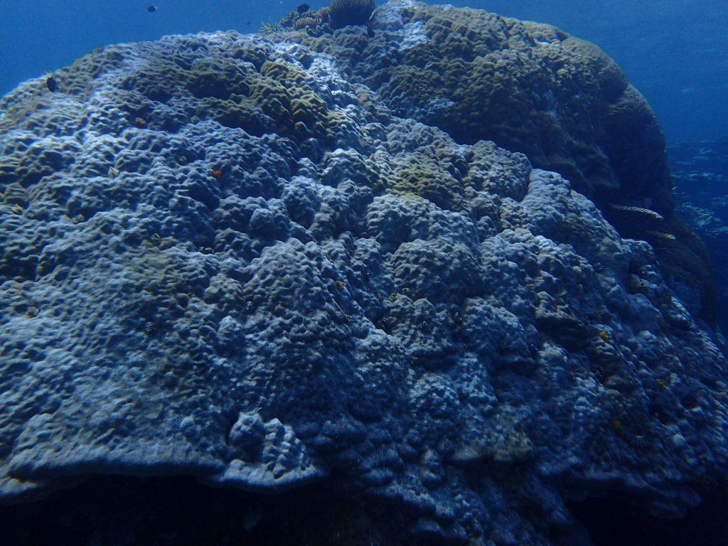 頑張れ西表サンゴ