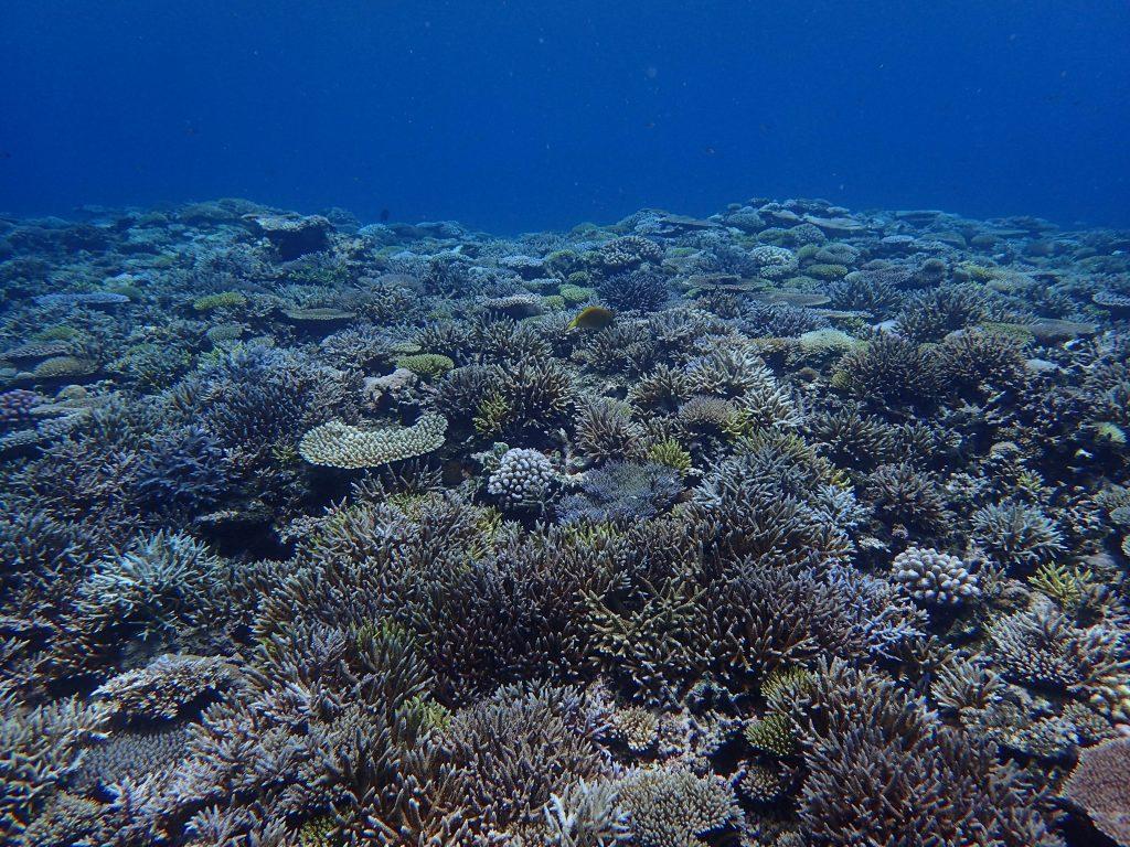 西表 復活サンゴ
