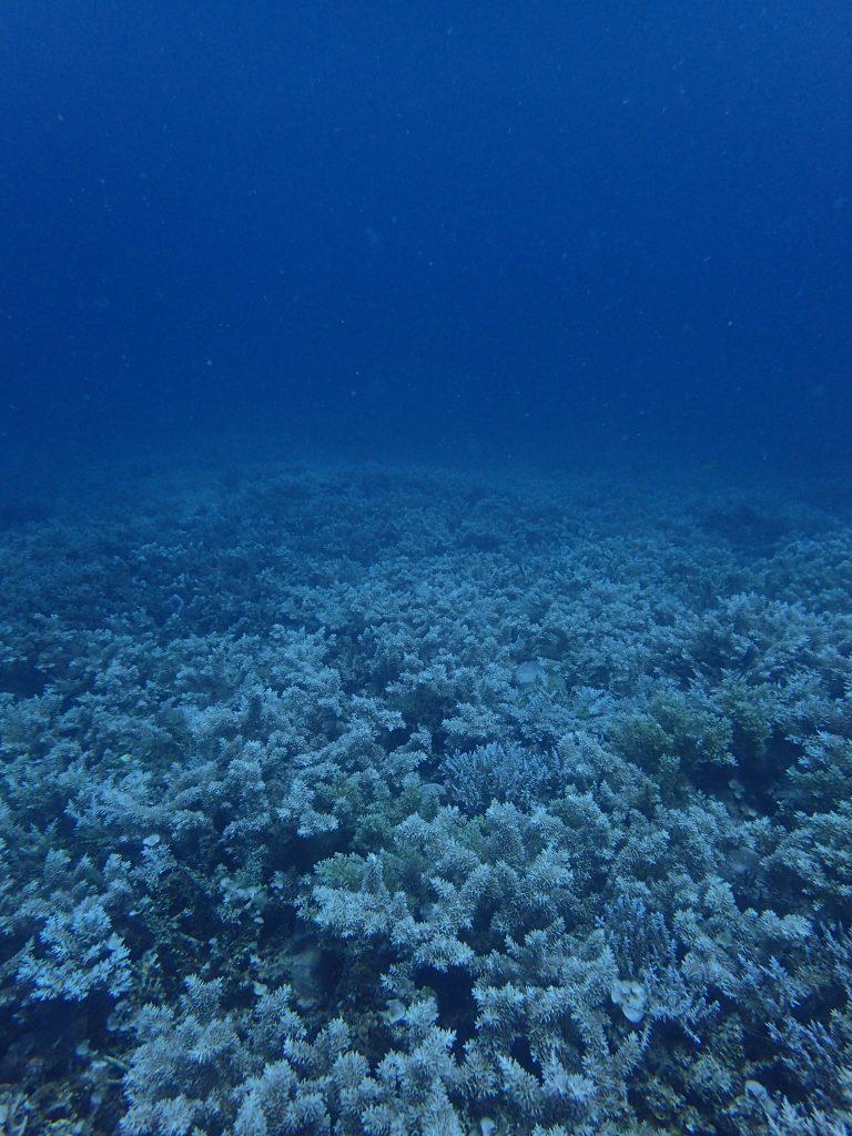 西表 アンビリーバボーなサンゴ