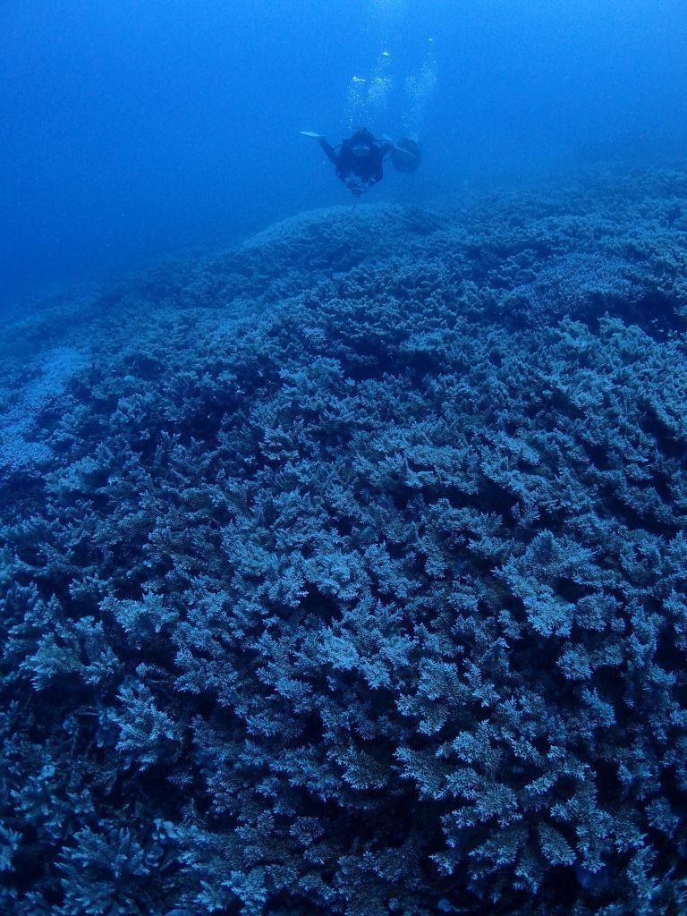 西表 極上のサンゴ