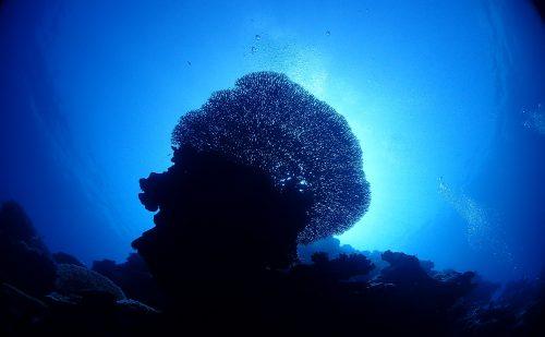 西表のサンゴ