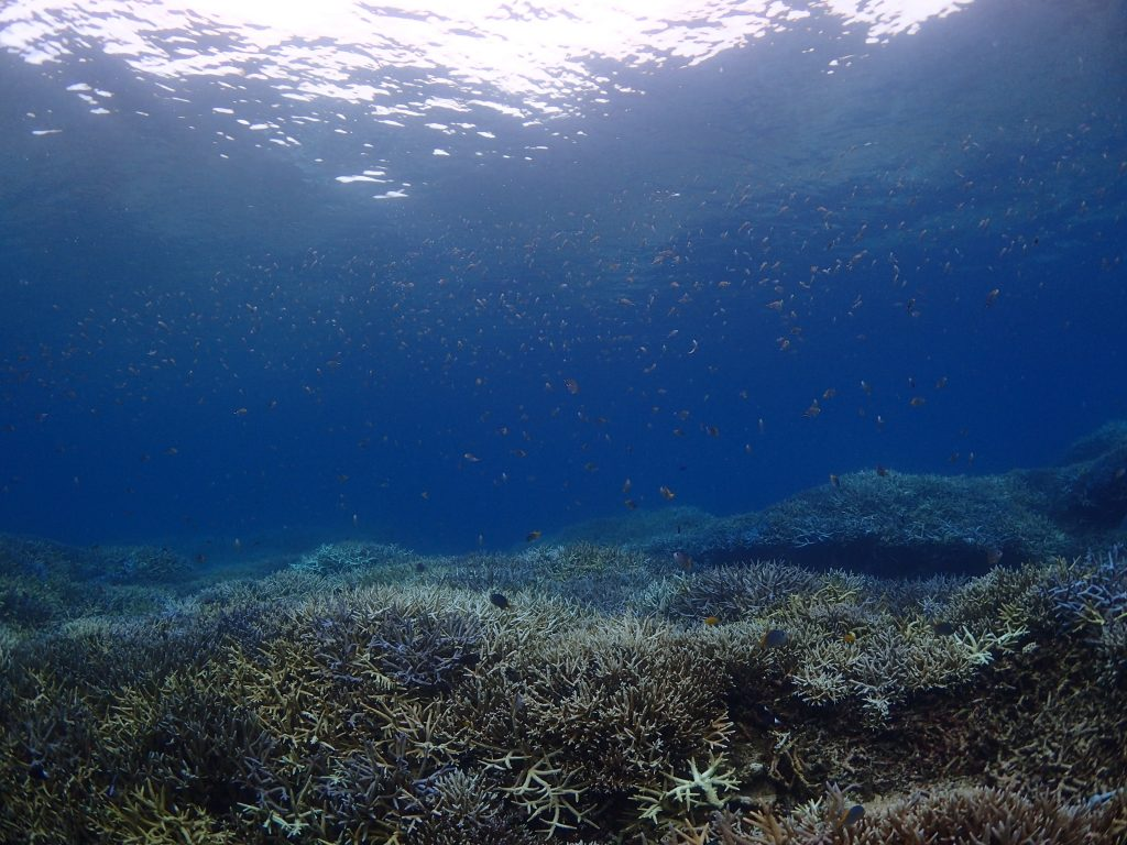 大物、サンゴにスズメダイ