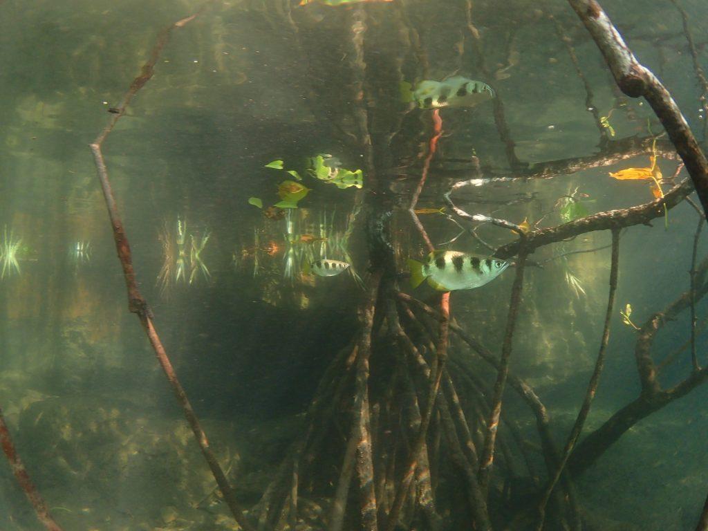 マングローブの水中