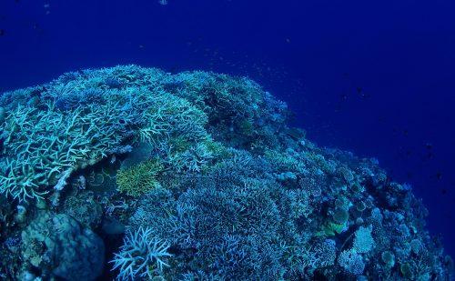 西表サンゴのリーフ網取