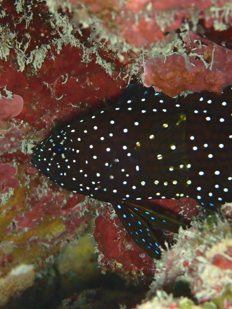 西表の魚 シモフリタナバタウオ