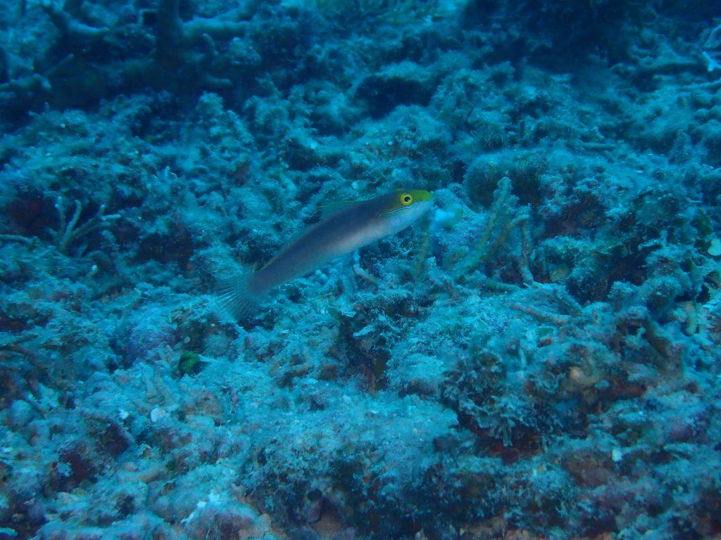 珍しい魚 アカネハゼ