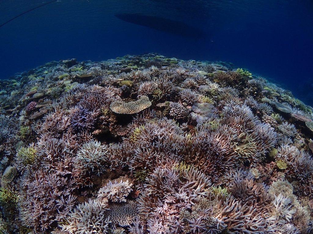 サンゴの小話、その2