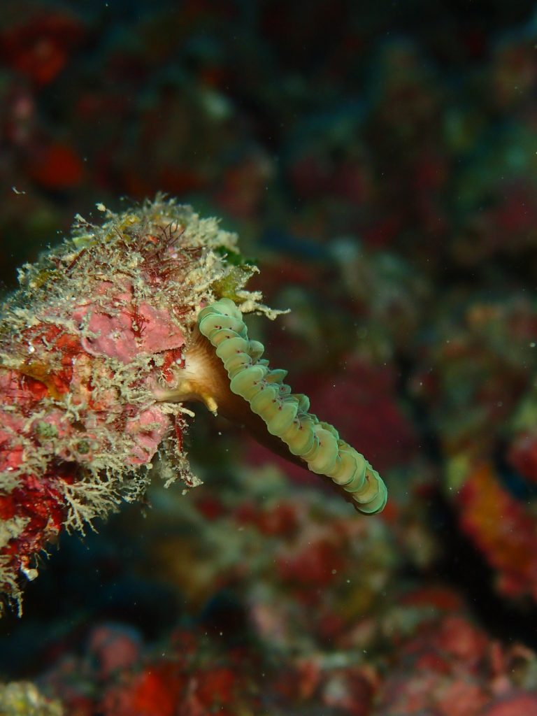 元旦サンゴの幼生