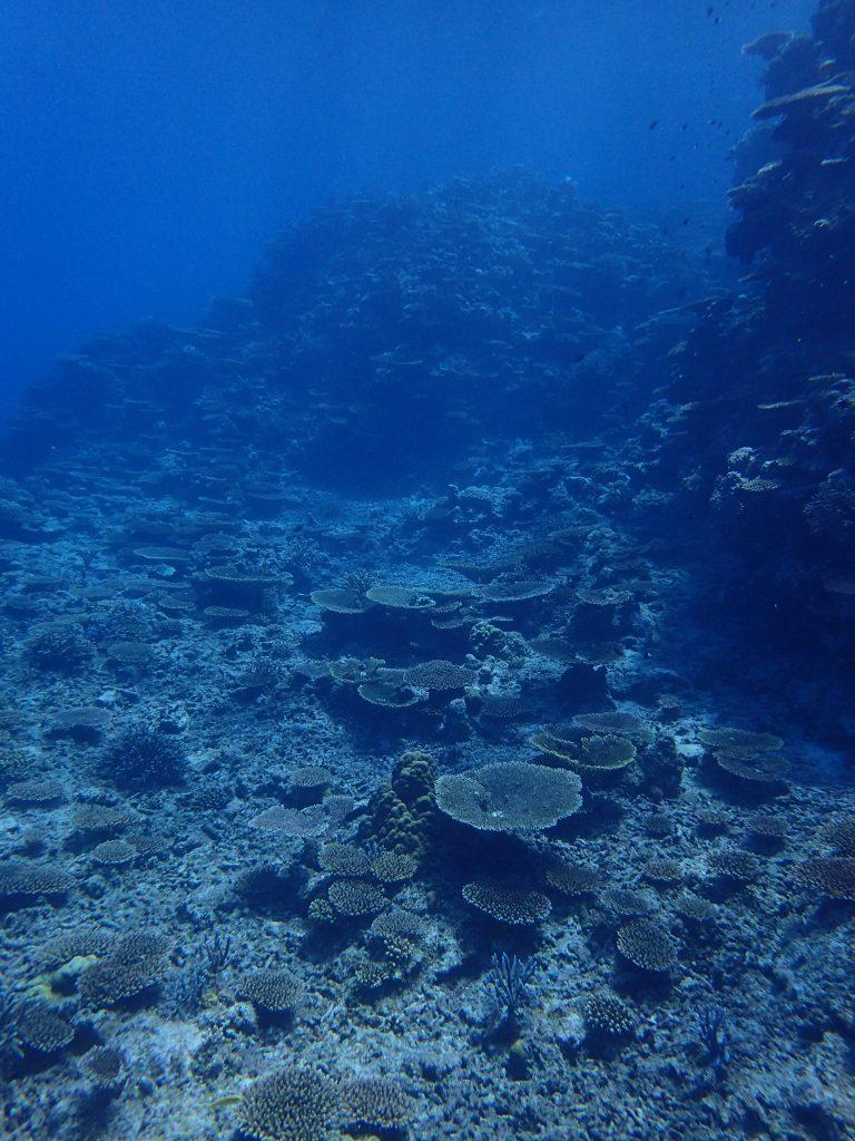 すくすくサンゴが育つ西表の海の魅力