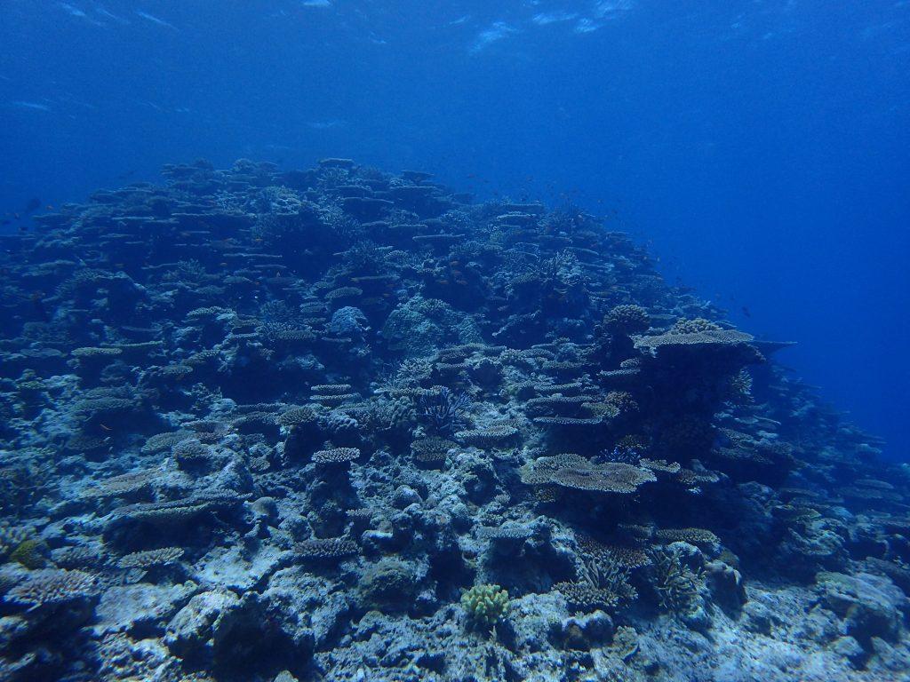 西表サンゴの底力