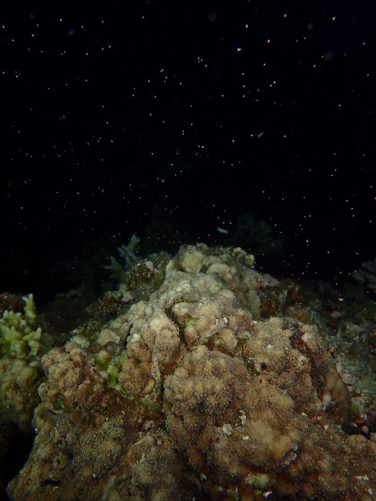 西表でサンゴの産卵2021