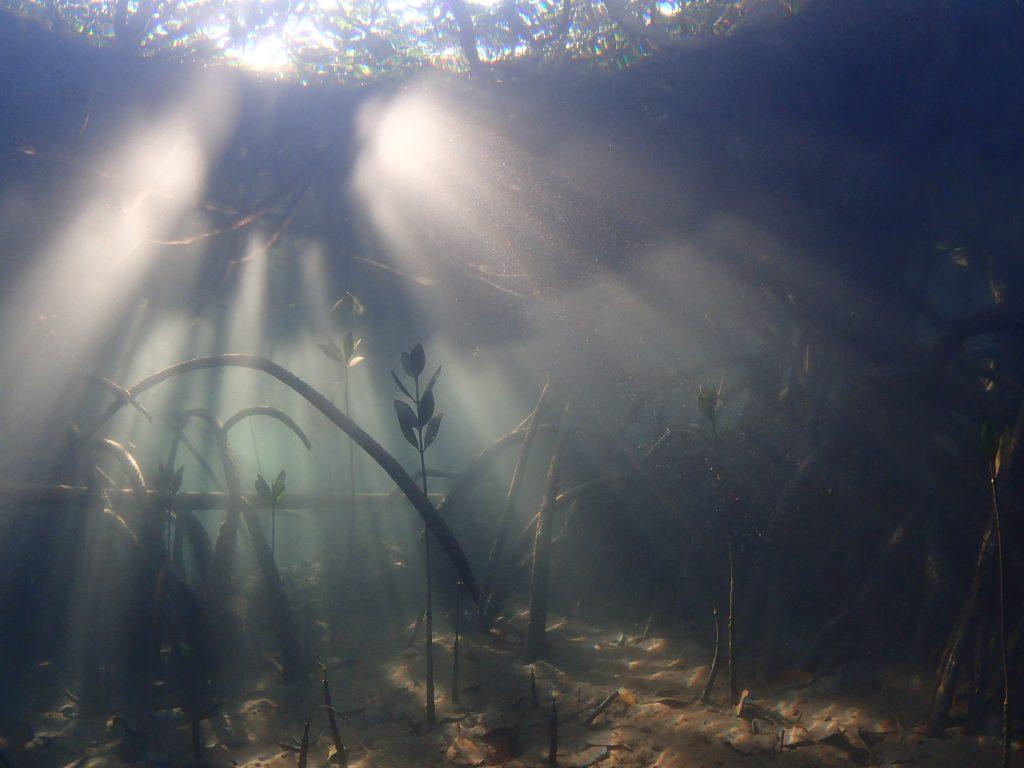 マングローブからサンゴの海へ