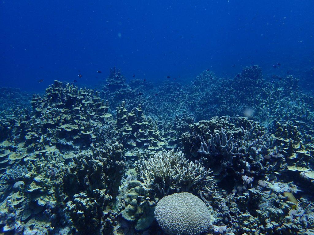 パラオハマサンゴが広かる海、西表島