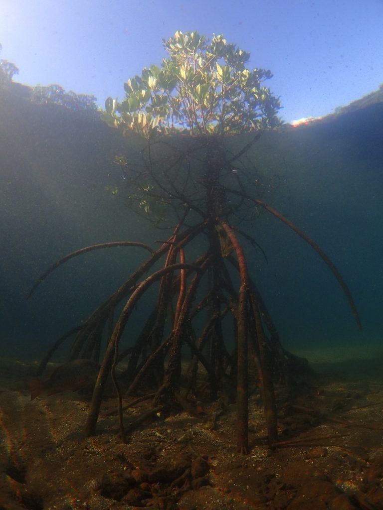 水中からヤエヤマヒルギ